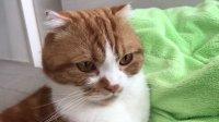 動画です。ニコのグルグル🎶鳴いてるのきこえるかな😊この表情でご機嫌なんですよ😸#猫  #スコティッシュフォールド  #グ