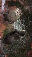 #コツメカワウソ 飼育担当さんの動物チェック❣ そういえば🤔9/3~10/14の期間で第二回カワウソ総選挙がはじまります
